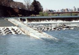 vol.2 郡山堰魚道改修による天然アユ遡上状況の変化